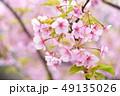 桜 河津桜 春の写真 49135026