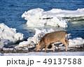 流氷 冬 牡鹿の写真 49137588
