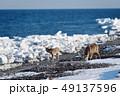 流氷 冬 牡鹿の写真 49137596