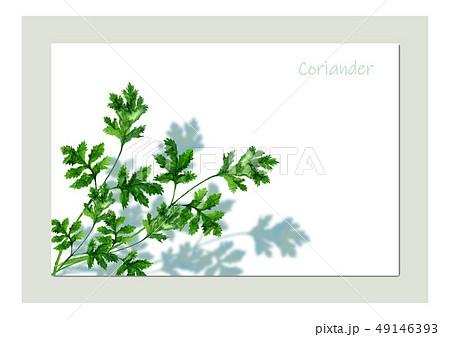 コリアンダー(パクチー) 49146393