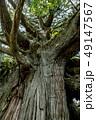 尾八重の一本杉 49147567