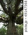 尾八重の一本杉 49147568
