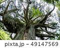 尾八重の一本杉 49147569