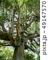 尾八重の一本杉 49147570