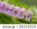 花 フラワー ハーブの写真 49153010