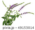 ハーブ 植物 ミントの写真 49153014
