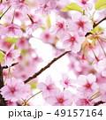 桜 河津桜 春の写真 49157164