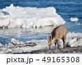 流氷 冬 牡鹿の写真 49165308