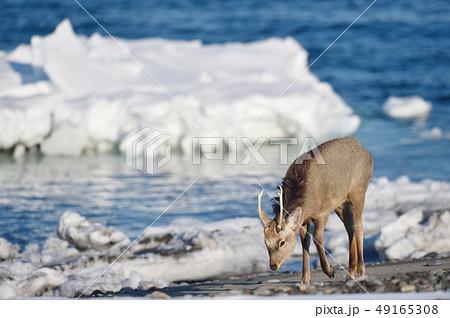 流氷が残る海岸に現れたエゾシカ(北海道) 49165308