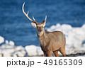 流氷が残る海岸に現れたエゾシカ(北海道) 49165309