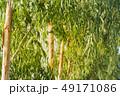 背景 小枝 枝の写真 49171086