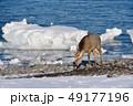 流氷 冬 牡鹿の写真 49177196