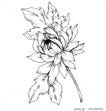 Vector Chrysanthemum floral botanical flowers. Black and white engraved ink art. Isolated flower 49189492