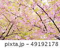 桜 河津桜 春の写真 49192178