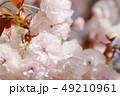 桜 八重桜 普賢象の写真 49210961