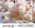 桜 八重桜 普賢象の写真 49210965