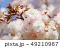 桜 八重桜 普賢象の写真 49210967