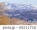 白鳥 鳥 冬の写真 49211716