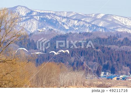 川から飛び立った白鳥 雪山 3月 49211716