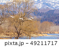 川 白鳥 冬の写真 49211717
