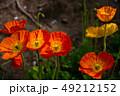 ケシ 花 オレンジ色の写真 49212152