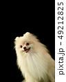 ポメラニアン ポメ 小型犬の写真 49212825