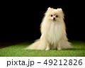ポメラニアン ポメ 小型犬の写真 49212826