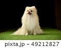 ポメラニアン ポメ 小型犬の写真 49212827