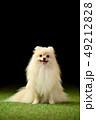 ポメラニアン ポメ 小型犬の写真 49212828