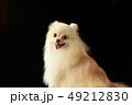ポメラニアン ポメ 小型犬の写真 49212830