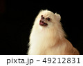 ポメラニアン ポメ 小型犬の写真 49212831