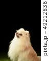 ポメラニアン ポメ 小型犬の写真 49212836