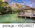 (静岡県)伊豆の国市・小坂清水池親水公園の錦鯉と桜 49216627