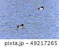鳥 金黒羽白 池の写真 49217265