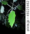 Green leaf of poplar on a dark background 49225462