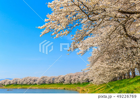 一目千本桜 大河原 49226769