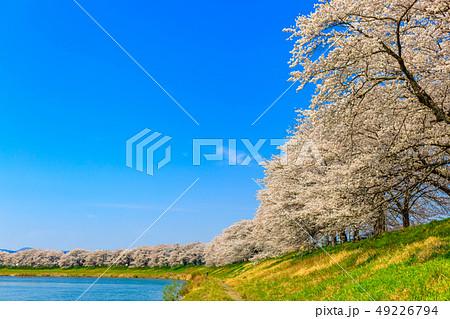一目千本桜 大河原 49226794