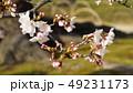 桜 蕾 春の写真 49231173