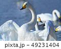 白鳥 鳥 水鳥の写真 49231404