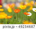 ポピー ヒナゲシ 花の写真 49234687