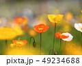 ポピー ヒナゲシ 花の写真 49234688