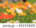 ポピー ヒナゲシ 花の写真 49234689