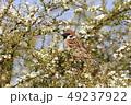 小鳥 鳥 雀の写真 49237922