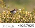 小鳥 鳥 雀の写真 49237925