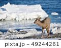 流氷 冬 牡鹿の写真 49244261