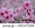 桃の花 桃 花の写真 49247068