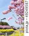 河津桜 桜 春の写真 49249587