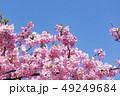 河津桜 桜 春の写真 49249684