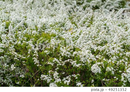 春の訪れ 雪柳 49251352