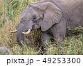 ぞう ゾウ 象の写真 49253300